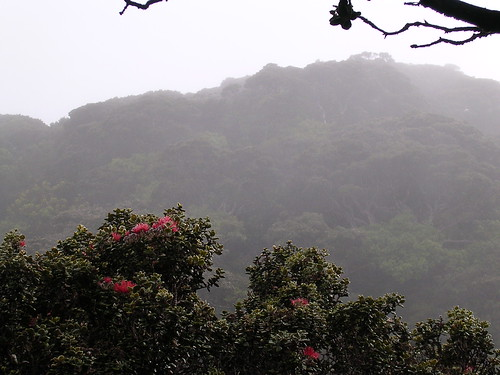 The red 'Ōhi'a Lehua in bloom