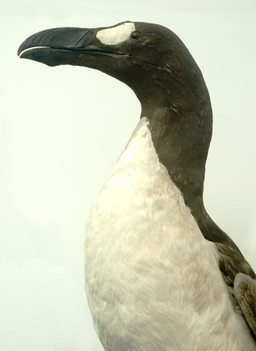 great auk extinct