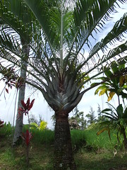 fruit(0.0), food(0.0), plantation(0.0), date palm(1.0), arecales(1.0), tropics(1.0), borassus flabellifer(1.0), palm family(1.0), tree(1.0), plant(1.0), produce(1.0), elaeis(1.0),