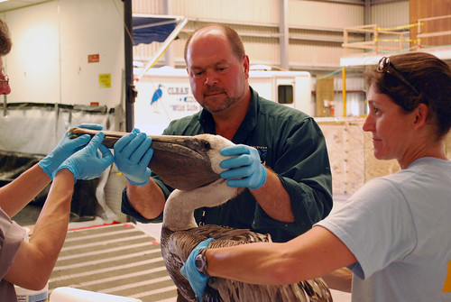 Dr. James LaCour examining a brown pelican