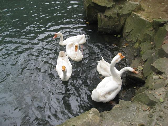洁白可爱的大白鹅是东晋大书法家王羲之的心爱之物.