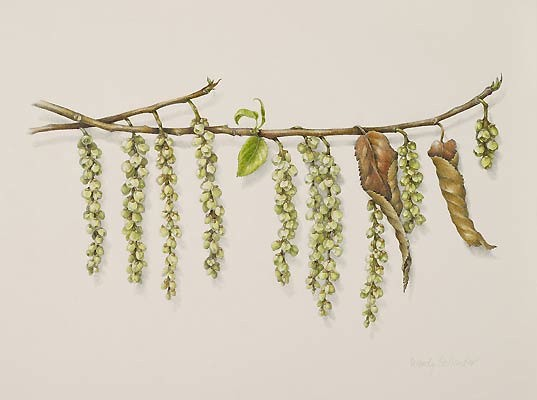 Stachyurus praecox by Wendy Hollender,  2008  Colored pencil on Fabriano hot press, 12 × 14 in. © Copyright Brooklyn Botanic Garden