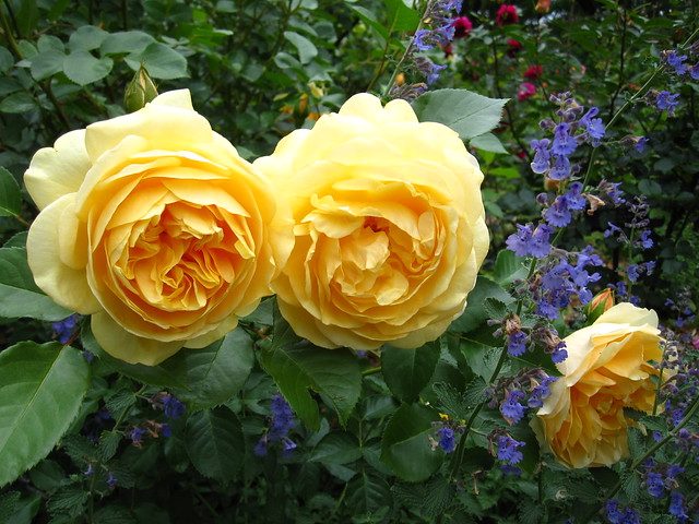 Rosa 'Graham Thomas', an English shrub rose with rich yellow blossoms blooms near the Cranford Rose Garden. Photo by Rebecca Bullene.