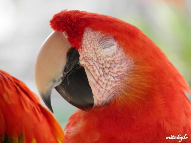 Sleeping Parrot