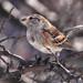 American Tree Sparrow by Tony Tanoury