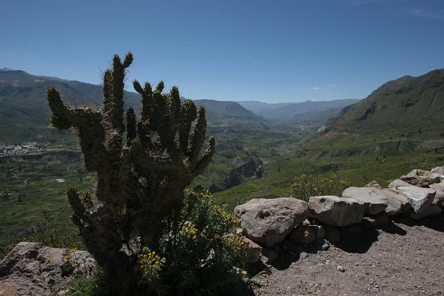 Colca cactus