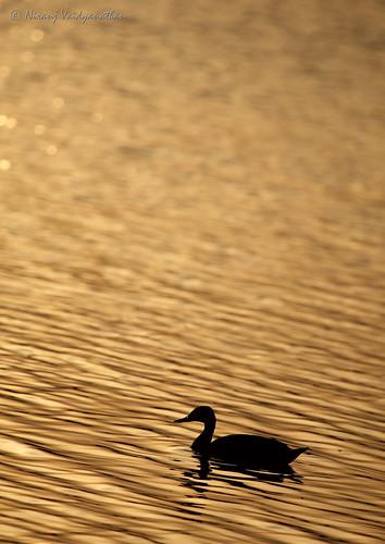 reflection bird birds silhouette sunrise gold golden duck bangalore hebbal quack spotbilledduck anaspoecilorhyncha hebballake spotbill canoneos1dmarkiii goldenwaters canonef100400mmf4556lusmis indianspotbill niranjvaidyanathan bangaloreurban