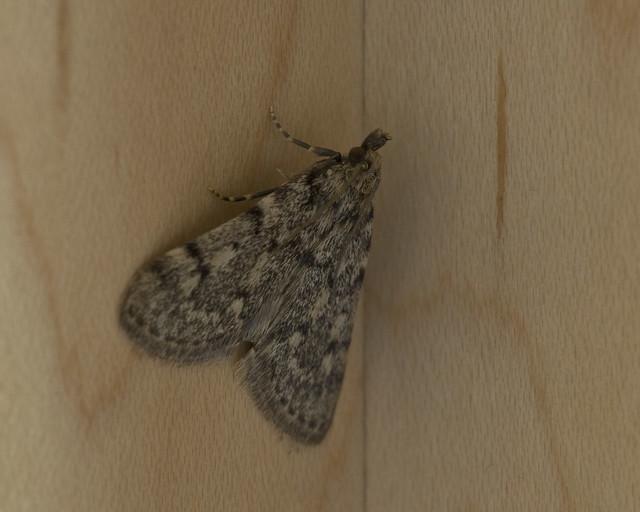 Moth On My Kitchen Cabinet Flickr Photo Sharing