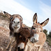 Donkeys near Aix en Provence, Provence, France by -sanch-