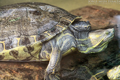 animal, turtle, box turtle, reptile, fauna, common snapping turtle, chelydridae, emydidae, wildlife, tortoise,