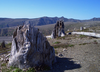 Blasted tree stumps, Mt St Helens