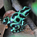 Green and Black Poison Dart Frog - Photo (c) Jerry Oldenettel, some rights reserved (CC BY-NC-SA)