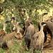 White-backed Vulture, Gyps africanus, Witrugaasvoel