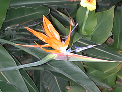 flower, leaf, plant, flora, heliconia,