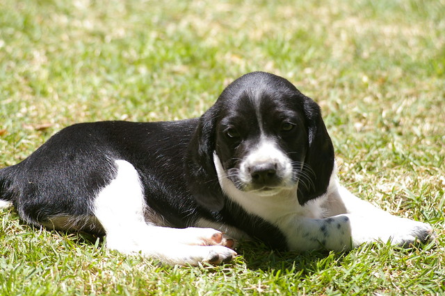 beagle english springer spaniel mix image search results