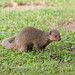 Indian Mongoose - Photo (c) Carla Kishinami, some rights reserved (CC BY-NC-ND)