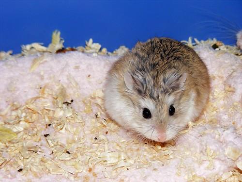 Doenças de hamsters: sintomas - Petlove - O Maior Petshop Online do Brasil