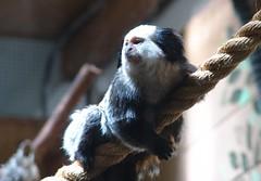 primate(0.0), animal(1.0), mammal(1.0), fauna(1.0), marmoset(1.0), close-up(1.0), new world monkey(1.0),