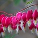 Bleeding Hearts  by haberlea