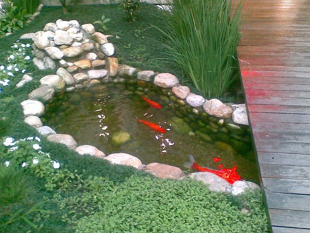 Note to self get fish pond with giant goldfish flickr for Best goldfish for outdoor pond