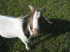 Archie, our Billy Goat.