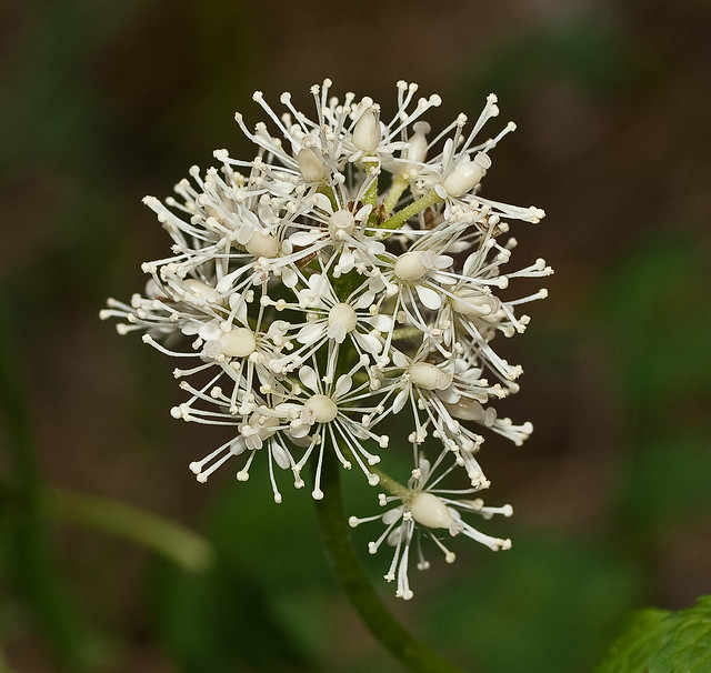 Good simple sites says red baneberry actaea rubra blooms frommay