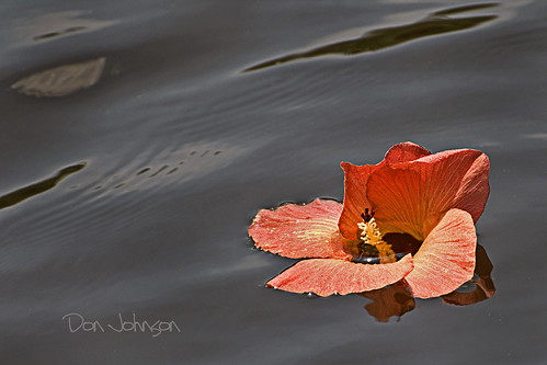 flower floating explore hibiscus drifting harborlake