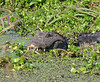 "<a href=""http://www.flickr.com/photos/cdtimm/3658823868/"">Photo of Caiman latirostris by Cláudio Dias Timm</a>"