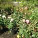 Roses 09