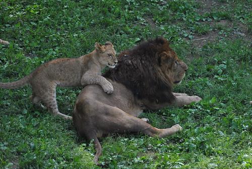ライオン@多摩動物公園20110522 003