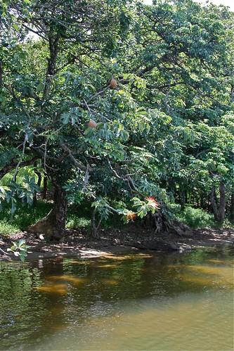 Pachira aquatica (Bombacaceae)