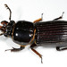 Bess Beetles - Photo (c) Patrick Coin, some rights reserved (CC BY-NC-SA)