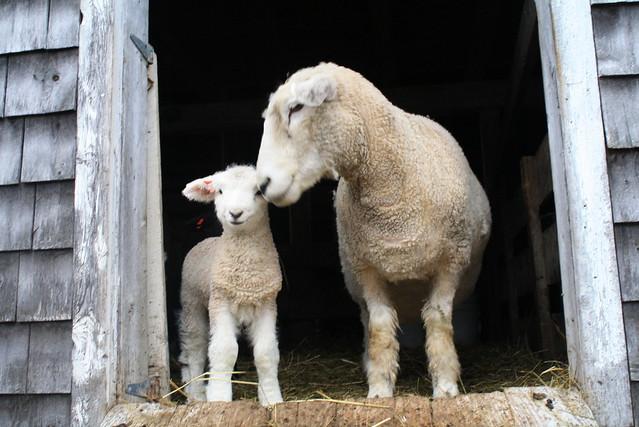 ... lamb burger rotisserie leg of lamb the best lamb burgers lamb momo