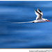 Tropic Bird in Flight - Galapagos by BrianMatthewLewis