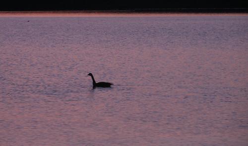 morning sun lake ny newyork bird water animal sunrise river landscape goose hudson hudsonvalley esopus portewen