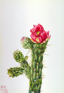 Mary Vaux Walcott: Walkingstick Cholla (Opuntia imbricata), 1934