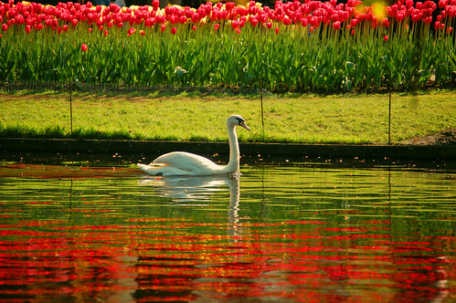 Swan in technicolour