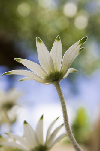 Flannel Flowers in my garden