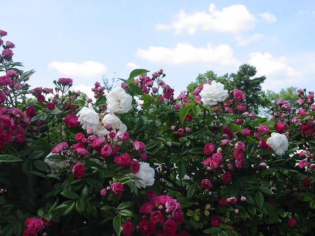 Raspberry & White Against the Sky