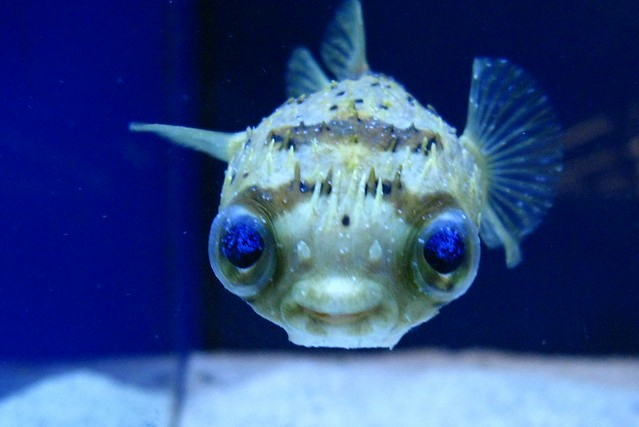 Porcupine puffer fish flickr photo sharing for Porcupine puffer fish