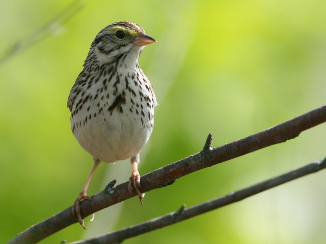 Savannah Sparrow SOOC crop 20100516