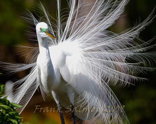 birds orlando florida waders greategret birdwatcher centralflorida potofgold gatorland canon100400l supershot natureoutpost theperfectphotographer goldstaraward canonxsi 100commentgroup thewonderfulworldofbirds gatorlandbirdrookery