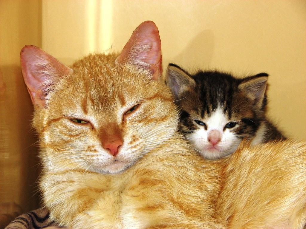 Orange Mom and Kittens 48