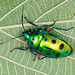Jewel Bugs - Photo (c) Shipher (士緯) Wu (吳), some rights reserved (CC BY-NC-SA)