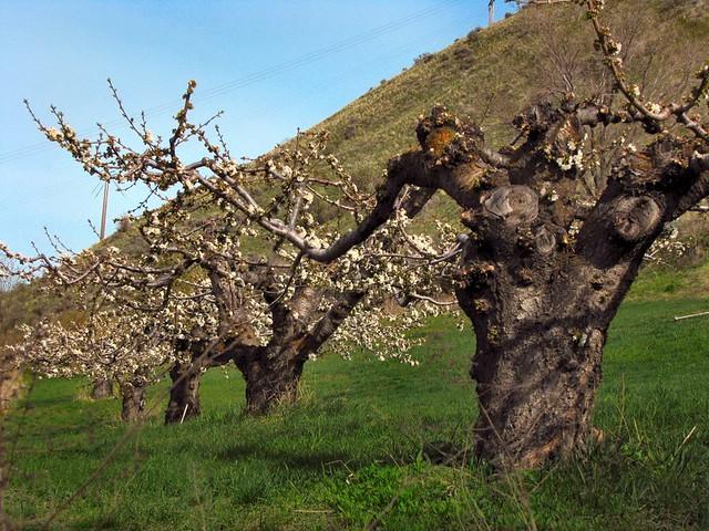 Cherry tree along sleepy hollow road flickr photo sharing - Romanian cherry tree varieties ...