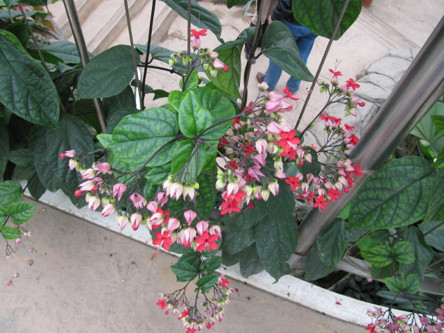 Clerodendrum Definition Meaning