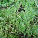 Crescent-cup Liverwort - Photo (c) George Shepherd, some rights reserved (CC BY-NC-SA)