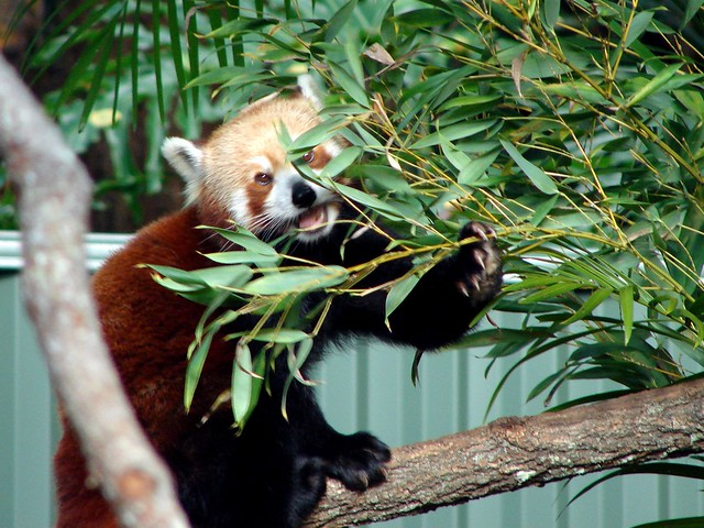 Red panda eating bamboo leaves | Flickr - Photo Sharing!