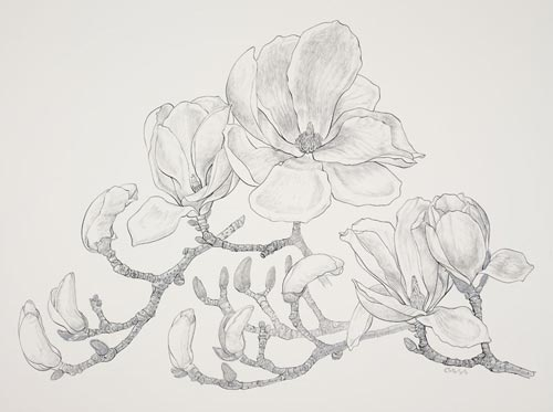 "Magnolia denudata by Carol Ann Morley, 2006.  Pen and ink on Bristol Board, 2 ply, 16"" × 20"". © Copyright Brooklyn Botanic Garden"