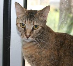 animal, tabby cat, toyger, small to medium-sized cats, pet, european shorthair, pixie-bob, chausie, fauna, cat, wild cat, carnivoran, whiskers, domestic short-haired cat,